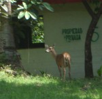 Deer in Panama
