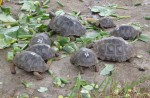 Baby Tortoise Numbers, Galapagos